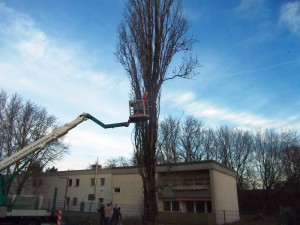 Fällung einer Pappel für die Stadtautobahn A100 in Berlin-Neukölln
